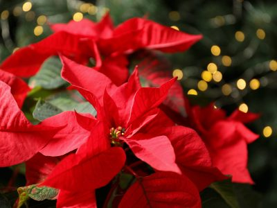 Memorial MOQ Christmas Flowers, Purchase by 12/1